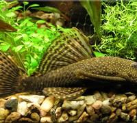 Аквариумные рыбки: Анциструс (Ancistrus). Описание, виды, содержание и разведение анциструсов