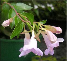 Абелия (Abelia). Описание, виды и уход за абелией