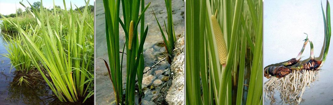 Аир болотный - фото