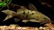 Аквариумные рыбки: Синодонтис (Synodohtis). Описание, виды, содержание и разведение сомиков синодонтисов